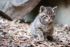 cute-wildcat-baby-25580157